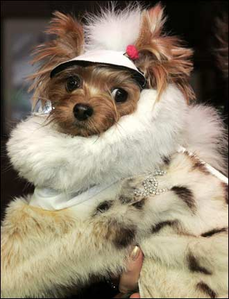 This pup is sporting a winter coat made from bobcat fur. The expected price tag for the coat is around $500.