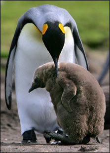 An adult Monarch penguin takes care of a younger one. Young penguins first exchange their silvery feathers and molt into their 'tuxedo' in their second year.