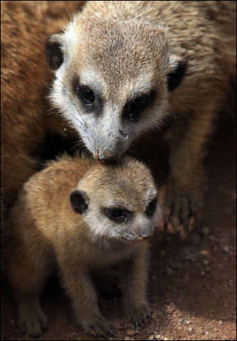 A meerkat licked her pup at the National Zoo Park La Aurora, south of Guatemala City. The meerkat is a small mammal that inhabits the Kalahari and Namib deserts in southern Africa.