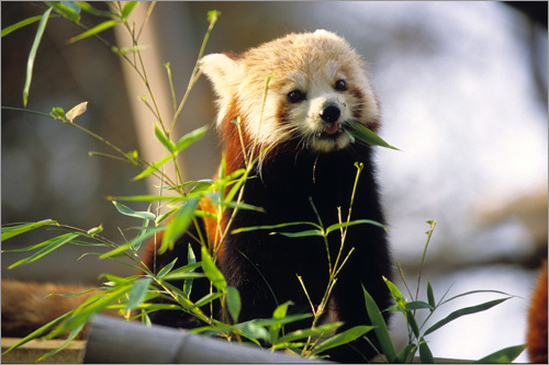 One of two baby red pandas at the Jardin des Plantes in Paris. Yumco, the male, and Zanda, the female, have now left their nest and can be seen by visitors.