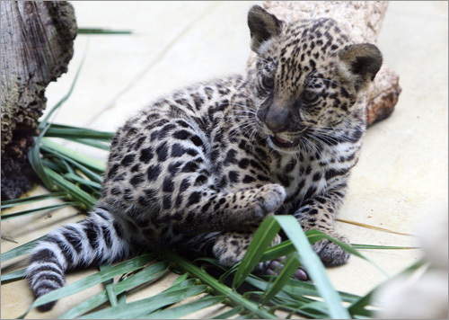 A baby jaguar inspects his enclosure at the Hellabrunn zoo in Munich.