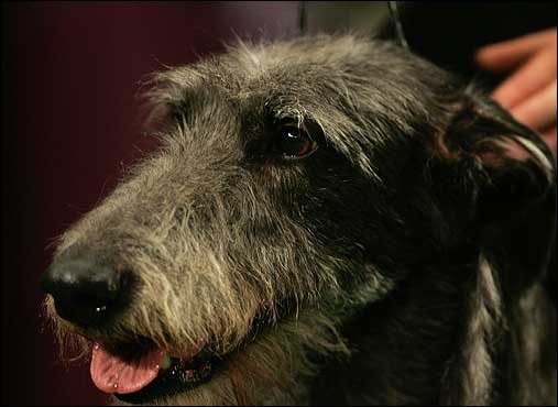 Margot, a Scottish deerhound, waited to begin competition in the hound group judging. Margot won the hound group.