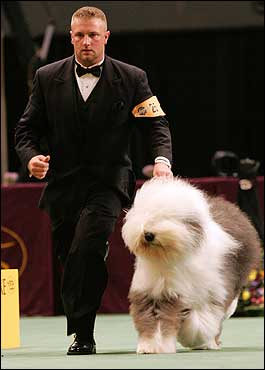 Smokin', an old English sheepdog, won the herding category to advance to the Best in Show round.