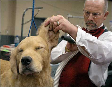 Andy, a golden retriever, got his ears blow dried by Ken Matthews during preparations for the show.