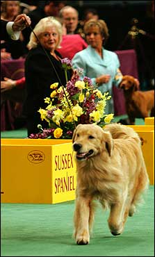 Andy won the Sporting group to advance to Best in Show. Golden retrievers are the second most popular breed in America, yet have always been shut out of Westminster's top spot.
