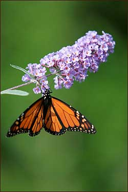Record numbers of monarch butterflies have fluttered across northeastern Massachusetts for the past few weeks, captivating residents as they passed through on their annual southern migration.