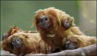A family of golden lion tamarins perched on a branch in their exhibit at the Small Mammal House at the zoo in Washington.