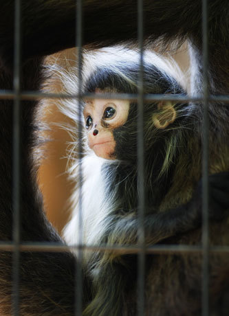 A 2-month-old black-handed spider monkey was held in the arms of its mother at the Ueno Zoo in Tokyo.