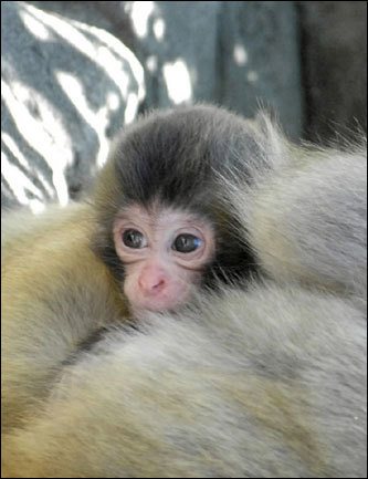 A baby snow monkey peered up from its mother's lap at the Central Park Zoo in New York. Snow monkeys are native to northern Japan.