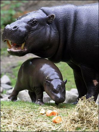 Paul, a baby miniature hippopotamus, and his mother, Debby, explored the outdoor enclosure at a zoo in Berlin.