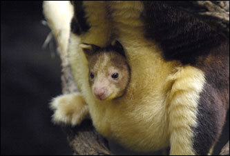 A baby Matschie's tree kangaroo, called a joey, looked out from its mother's pouch in the Bronx Zoo's JungleWorld exhibit. The joey spent the first few months of his life viewing the world from his mother's pouch and has only recently begun exploring his environment on his own.