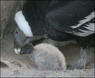 The Denver Zoo's first Andean condor chick, a male, is shown with a parent in this photo. Andean condors are endangered in the wild, and only one other chick has hatched in the past year in zoos throughout the world. First-time parents Evita and Andy took turns incubating the egg for 61 days and continue to take excellent care of their young chick.