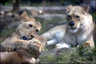 African lion cubs Elsa (left) and Ann roughhoused in front of Ann's mother, Sekaye, at the Knoxville Zoo in Tennessee. Keepers were reintroducing a total of four cubs to their mothers, who couldn't take care of them when they small.
