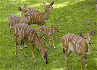 A young nyala walked with more mature members of its heard in the African Plains Exhibit at the Bronx Zoo in New York City.