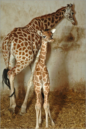 Seven-year-old giraffe Bubu walks past her newborn daughter, in the Animal Park of Nyiregyhaza, Hungary. The 5-foot-11-inch-tall baby was born early Christmas morning.