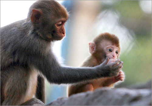 Here a baby macaque is fed by its mother at a zoo in Suzhou, in east China's Jiangsu province.