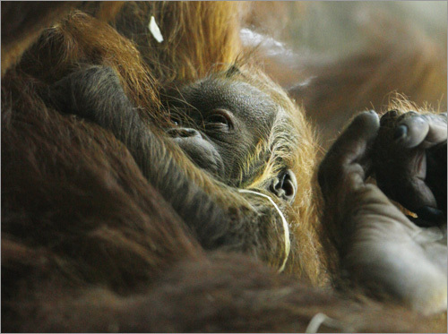 An orangutan baby holds on tight to its mother Xira in Zurich.