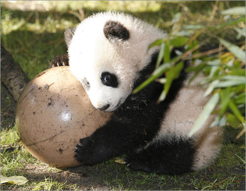Four-month-old giant panda cub Zhen Zhen plays with a ball in her enclosure at the San Diego Zoo during a media preview.