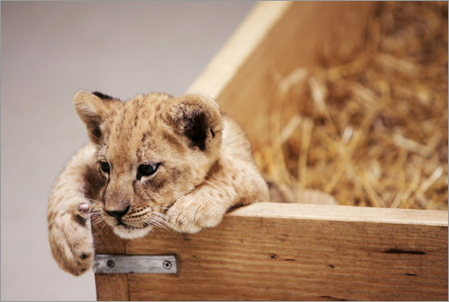 Here a female lion cub that was born at the Virginia Zoo in Norfolk, Va., relaxes.