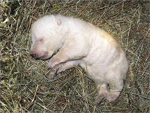 Here, a zoo in Nuremberg, Germany decided to bottle-feed and rear a 4-week-old polar bear cub that faced a threat of being eaten by its mother. See more polar bear photos See more baby animals from zoos around the world.
