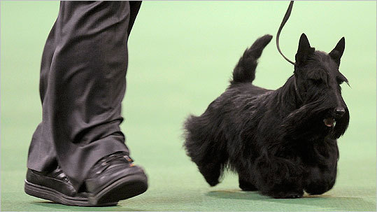 Sadie, the Scottish terrier that won Best in Show, takes part in the terrier group at the Westminster Kennel Club Dog Show at Madison Square Garden.
