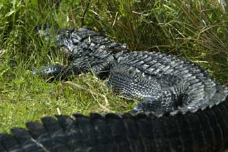 A alligator rest along the 15 mile loop trail in Everglades National Park. Visitors to the park can cycle or take a tram ride to see the wildlife.
