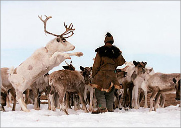 A herder offers a sodium-snack (human urine in a tin cup) to reindeer, which in turn jockey for position to get to the treat.