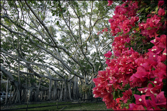 The Edison-Ford estate of Fort Myers is known for it's beautiful garden, with its branchy trees and beautiful dark pink flowers.