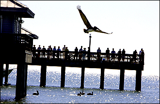 A pelican cruises Fort Myers Beach in this view towards the fish pier.