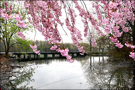 Cherry blossoms framed the Charles River near Christian A. Herter Park in Brighton. A conservation group says it is considering a suit over pollution.