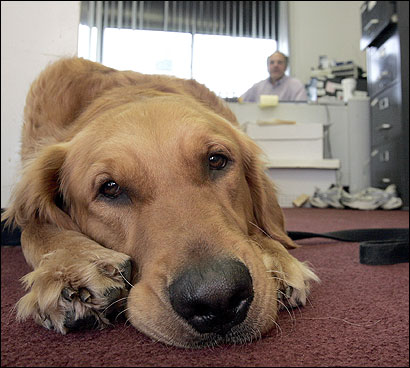 Murphy rested his head yesterday in owner Stephen Dean's office. The golden retriever is expected in court.
