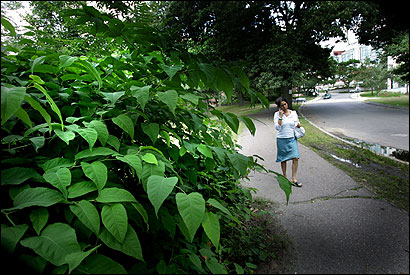 Japanese knotweed, which can grow to 5 feet tall, has found fertile ground along the Muddy River in the Back Bay Fens. Alexandra Almonacid walked by a thatch of the weed.