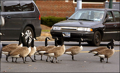State officials should consider relocating a portion of Boston's geese to Central or Western Massachusetts.