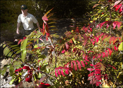 DCR Park Ranger Dave Furey walks a path on the summit of Blue Hill mountain where foliage has just started to turn.