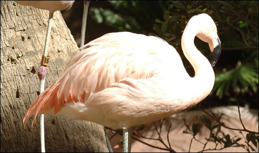This one's not plastic, but rather an up close shot of a live flamingo at the Flamingo Pool.