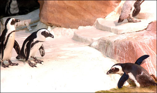 The penguins may be having more fun than the visitors at the Flamingo Pool.