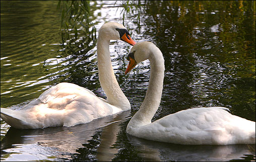 Scientific tests, the results of which were announced in August, showed Boston's beloved pair of swans, named Romeo and Juliet, are a same-sex couple. <img src='http://cache.boston.com/bonzai-fba/File-Based_Image_Resource/dingbat_arrow_icon.gif' alt='' title='' height='9' width='4' border='0' /> Story