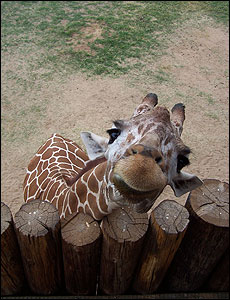 At Wildlife World Zoo in Litchfield Park, Ariz., visitors can feed a giraffe.