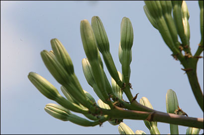 Within weeks, these buds on the agave will turn to flowers. The flowers will then fall, and the plant will die.