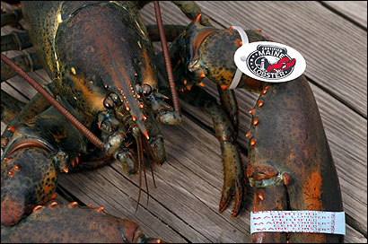 A tag and band identify a Maine lobster.