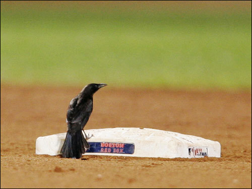 It took a bird to excite the crowd during an August 2006 game at Fenway Park. Seen here in the top of the ninth inning, the crow swiped second base.