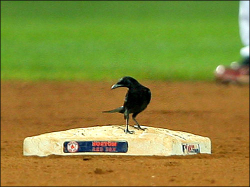 The crow then lined up his next move, apparently checking with the third base coach for signs.