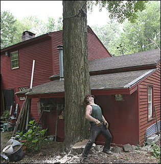 After notching one tree, lumberjack Walter Bickford checks its likely path to the ground.