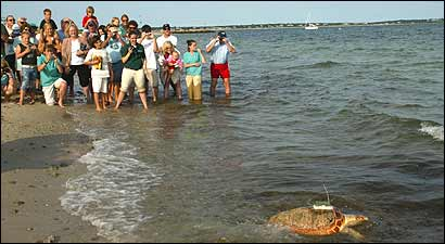 A loggerhead was among 14 turtles released yesterday on Dowses Beach in Osterville. The turtles washed up on Cape Cod beaches last fall, and after their rescue underwent month of rehabilitation spearheaded by the New England Aquarium.