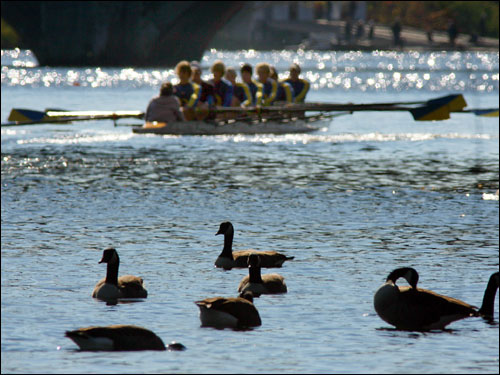 A group of Canada geese floated around the banks of the Charles River on the Storrow Drive side, as a crew of club eights headed down the to the starting location.