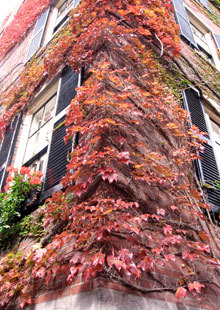Red leaves cover the corner of a building on Chestnut Street.