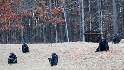 Several animals gathered at Chimp Haven, a federal sanctuary. Bioterrorism worries are driving efforts to stall a bill protecting them from experimentation.