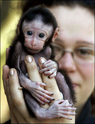 Animal keeper Sabina Gloecknerova holds a 3-week-old male celebes crested macaque at the zoo in Decin, north of Prague. The baby ape, named Satu, was refused by his mother, and intensive human care for Satu is now inevitable.
