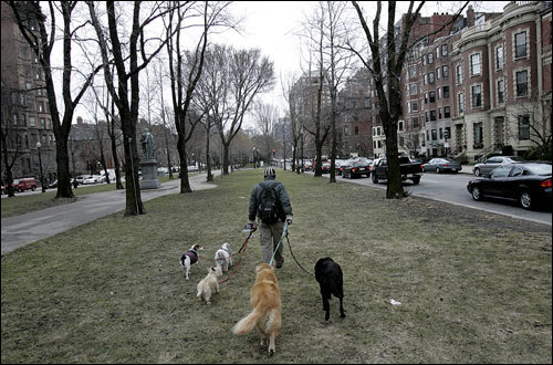 With grey days for most of the week, and even snow on Wednesday, New England got another taste of winter. Mike Kiddy of Boston Pet Sitters walked five dogs down Commonwealth Avenue mall.