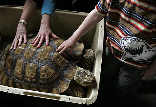 'Mo,' a 12-year-old African spurred tortoise, received some attention at the Franklin Park Zoo Sunday on Earth Day. Mo was hatched in the zoo, but his parents, who were brought to the city illegally, were confiscated at Logan Airport..